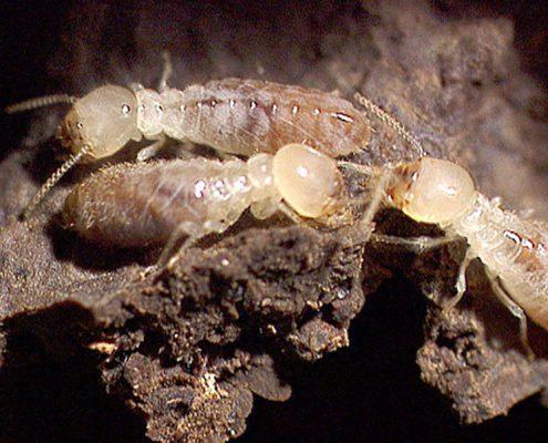 traitement anti termite neuve free termites ouvriers with traitement anti termite neuve free. Black Bedroom Furniture Sets. Home Design Ideas