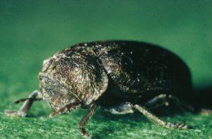 La grosse vrillette s'attaque aux bois préalablement attaqués par les champignons et riches en azote.