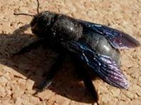 Désinsectisation d'abeilles charpentières