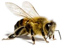 Capture de nids d'abeilles