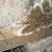 Exemple d'attaque de bois par une mérule des caves